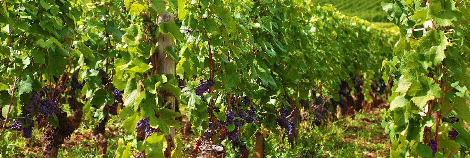 Vignobles aux portes de l'Anjou