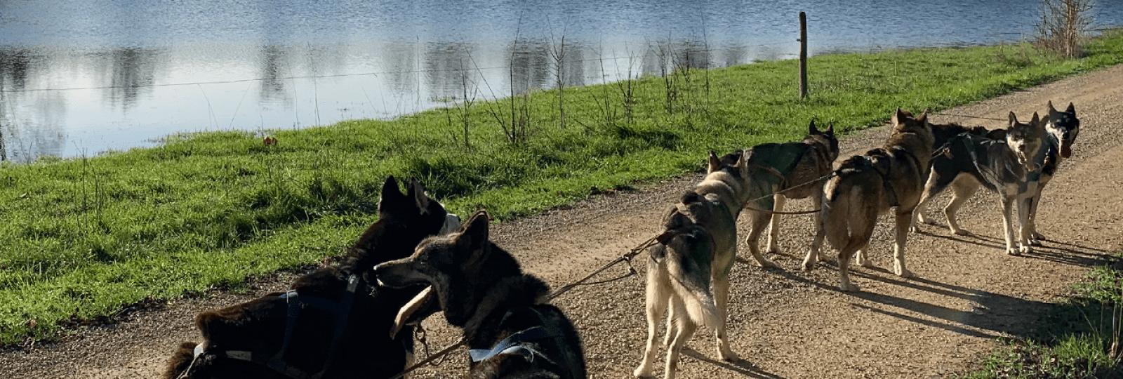 Balade insolite : chiens de traineaux